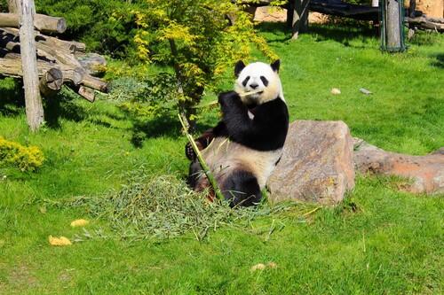 Panda blanc et noir au zoo de Beauval