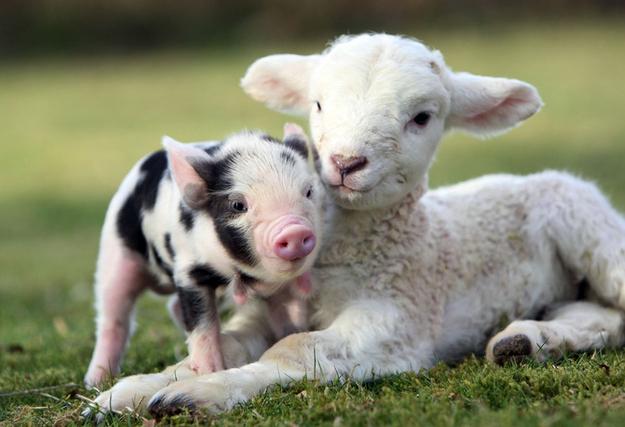 mouton et cochon 3