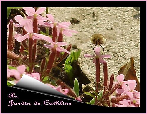 insecte-a-identifier---sur-saponaire.jpg