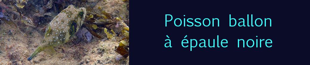 poisson ballon à épaule noire