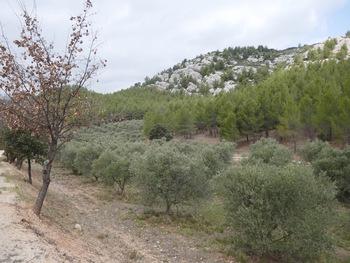 Au milieu des oliviers