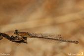 Ischnure naine femelle forme forme aurentiaca