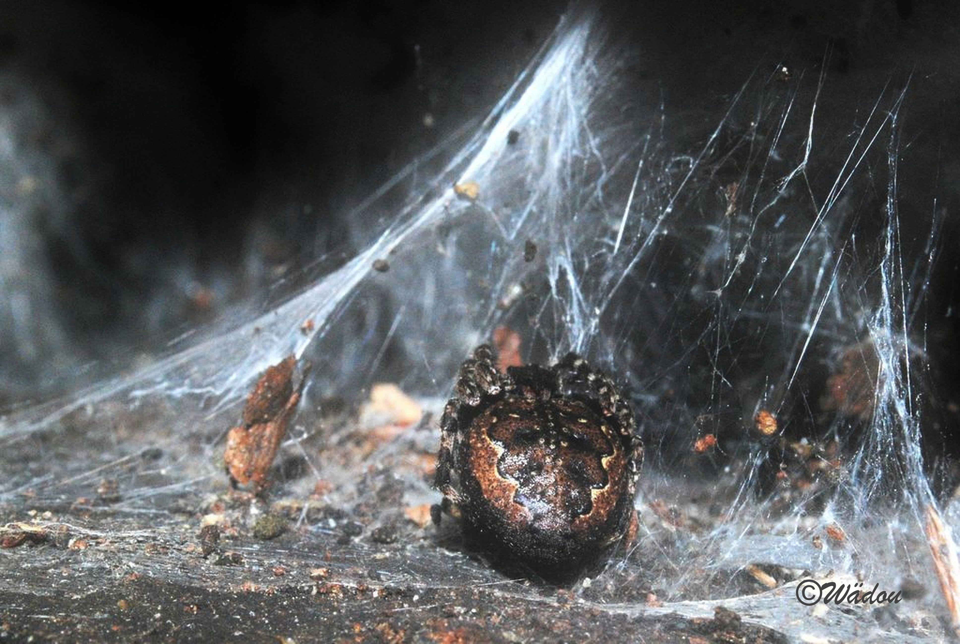 Epeire des fissures (Nuctenea umbratica) Araneidae