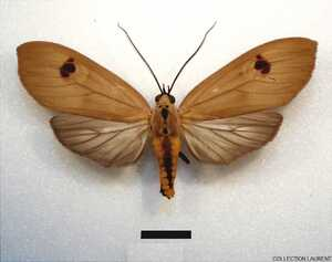 Opharus