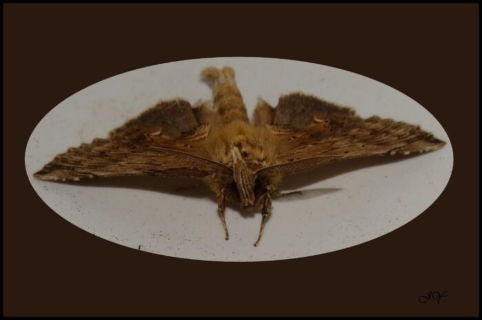 Pterostoma palpina.