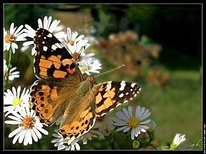 papillon-belle-dame-dscn3653.jpg