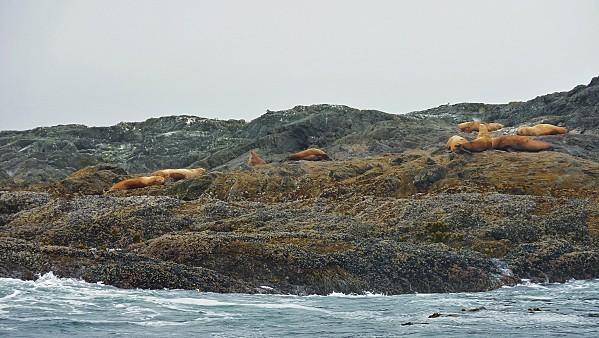 Jour 26 Tofino croisière lions de mer 4