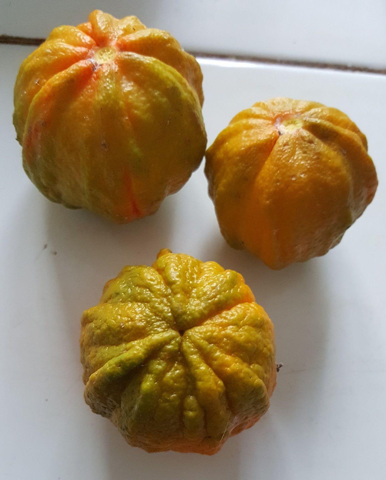 "Variété d'agrumes : oranger ""striata"" ou ""bizarria""..."