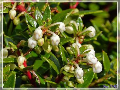 Floraison de la Gaulthérie ou Pernettya mucronée, Bruyère épineuse, Chaura (Gaultheria mucronata) - Peninsula de Magallanes - Patagonie - Argentine