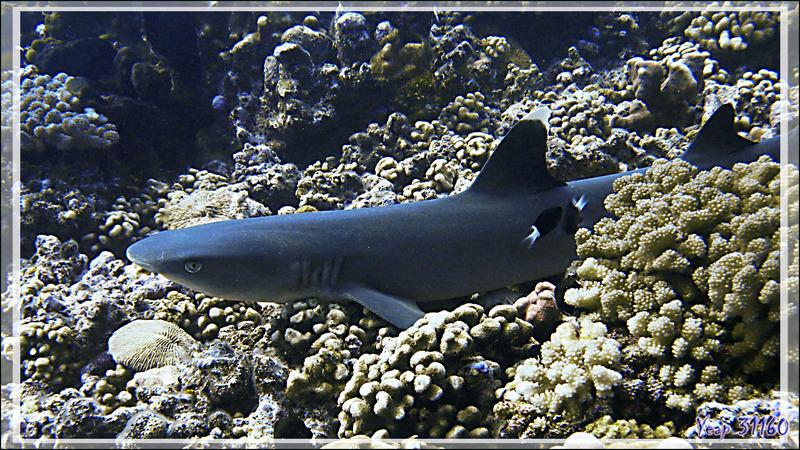 Requin pointe blanche du lagon ou Requin corail, Silver tip shark (Triaenodon obesus) - Passe Tumakohua - Fakarava sud - Tuamotu - Polynésie française