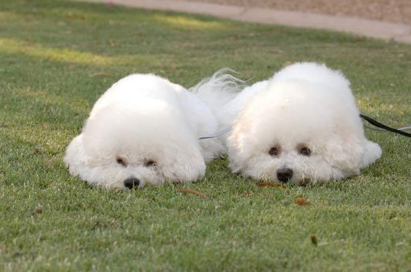 Races de chiens:  Bichon frisé