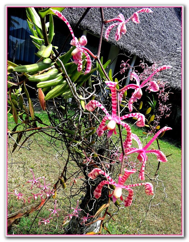 Des  Orchidées Madagascar 2016