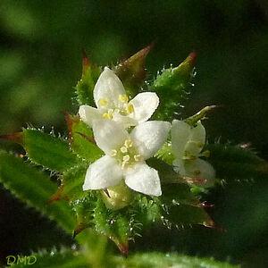 Galium aparine - gaillet gratteron