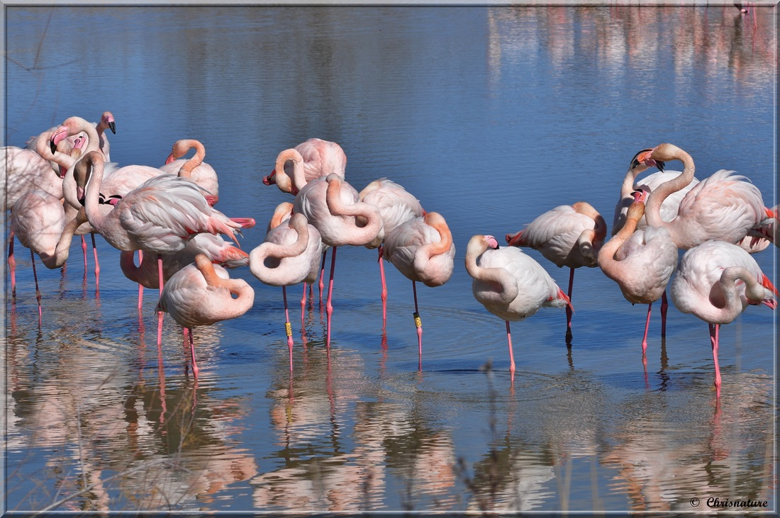 Flamants roses ( parc ornithologique du Pont de Gau -13 )