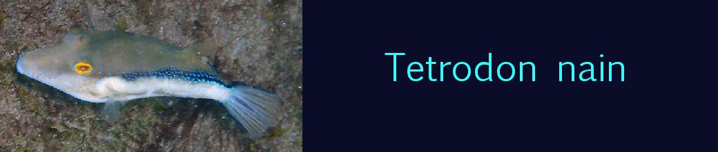 tetrodon nain