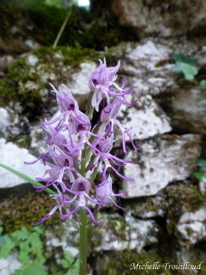 Orchis simia sig2