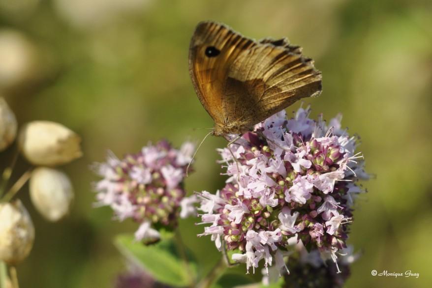 papillon-myrtil-0928.jpg