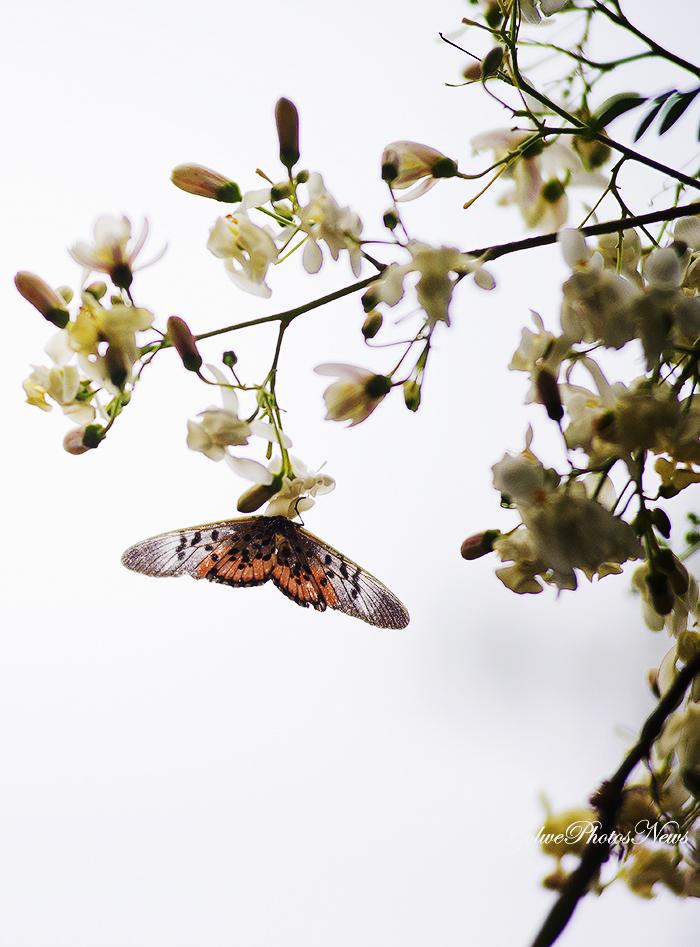 Papillons sur le Moringa