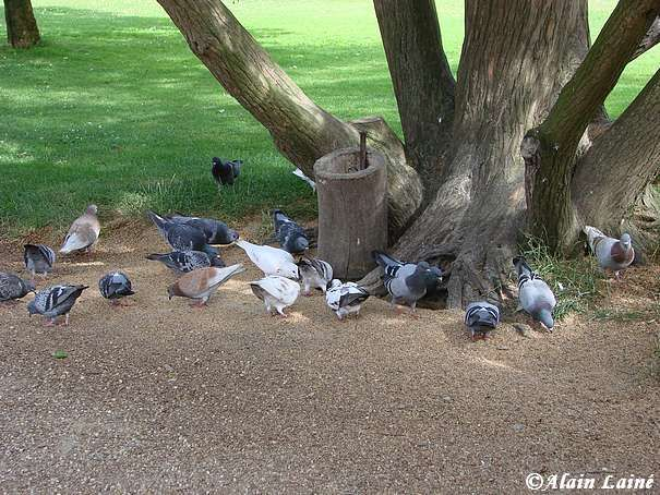 Pigeons_Thabor_Juil08