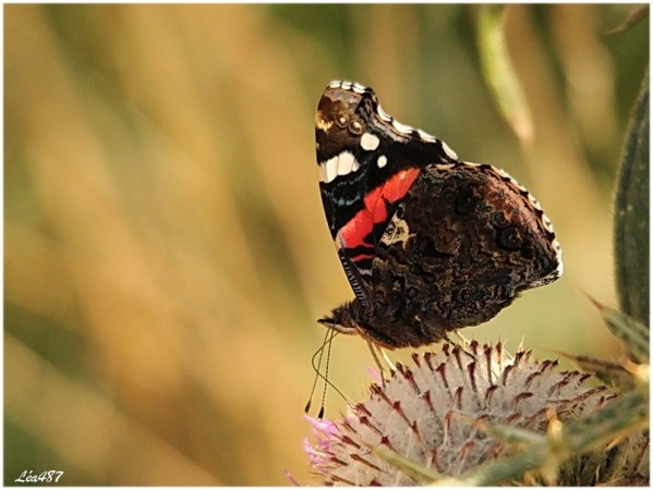 Papillons-2592-vulcain.jpg