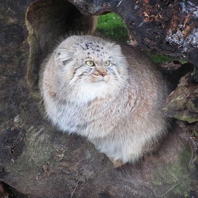 La beauté du Manul ou chat de Pallas ...