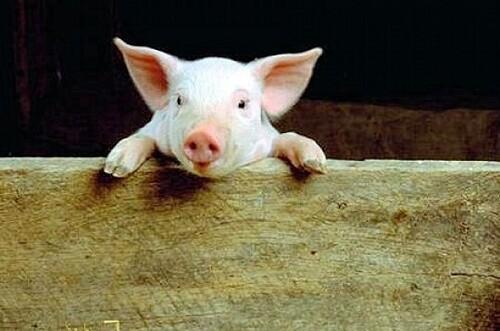 la foire au cochon