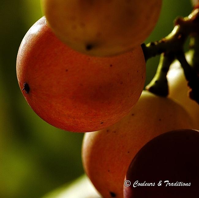 De la feuille de vigne au raisin