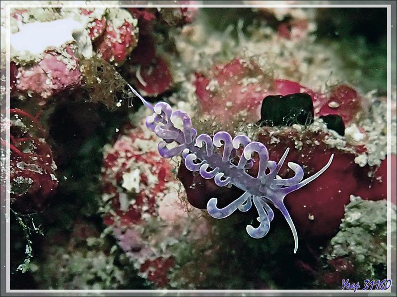 Nudibranche Eolidien Grand Phyllodesmium, Great phyllodesmium (Phyllodesmium magnum) - Betalinjona (2ème Frère) - Nosy Tsarabanjina - Archipel Mitsio - Madagascar
