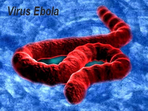 Ebola virus molecular structure. The Ebola genome is composed of 3 leader,  nucleoprotein (