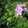 Géranium des bois (Geranium sylvaticum)