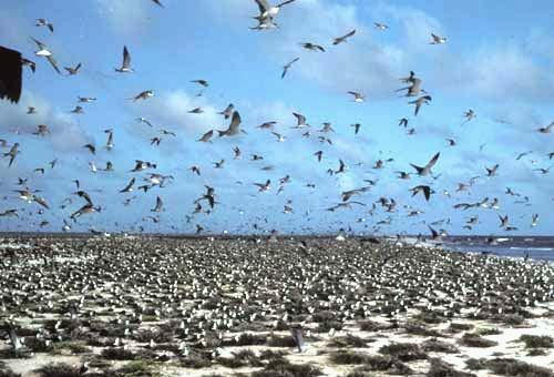 Jarvis Island Sooty Terns