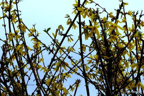Les fleurs jaunes du forsythia