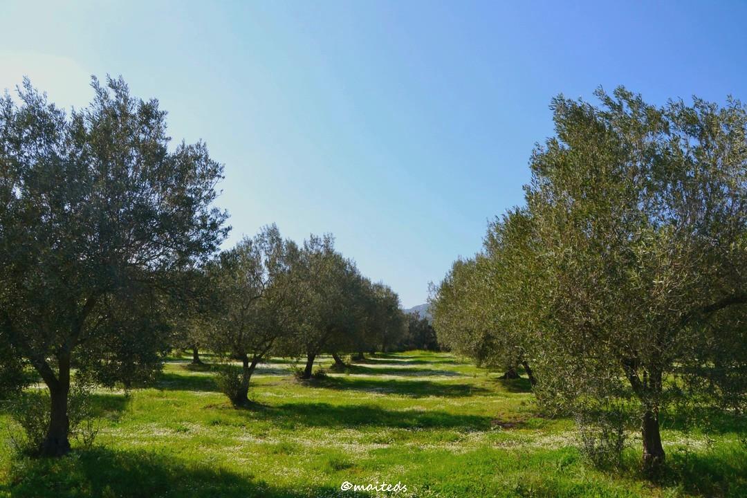L'oliveraie corse