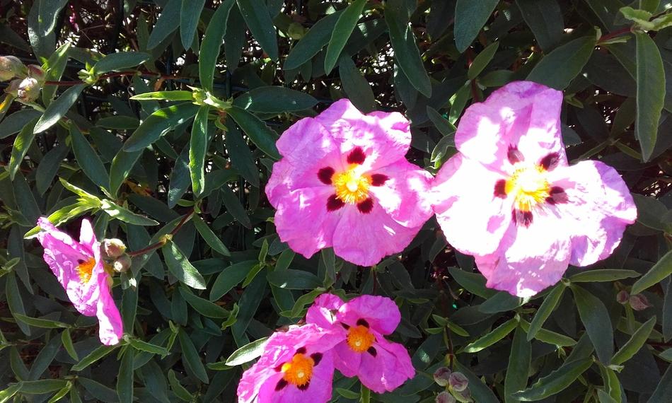 Cistes en rose