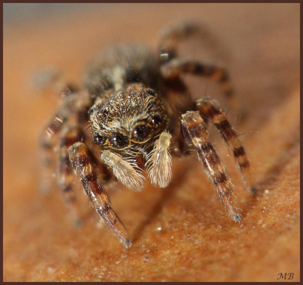 Araignée : Salticide 13