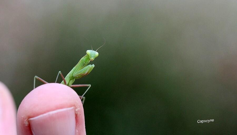 Une  délicieuse petite mante verte
