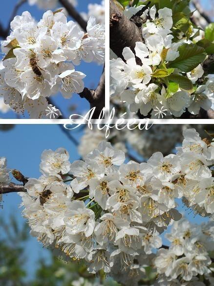 15-2012 cerisier1a