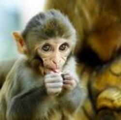 Errare humanum est, et pour le singe aussi.