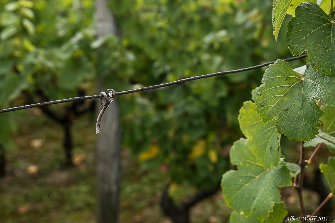 Dans les vignes - 1 -