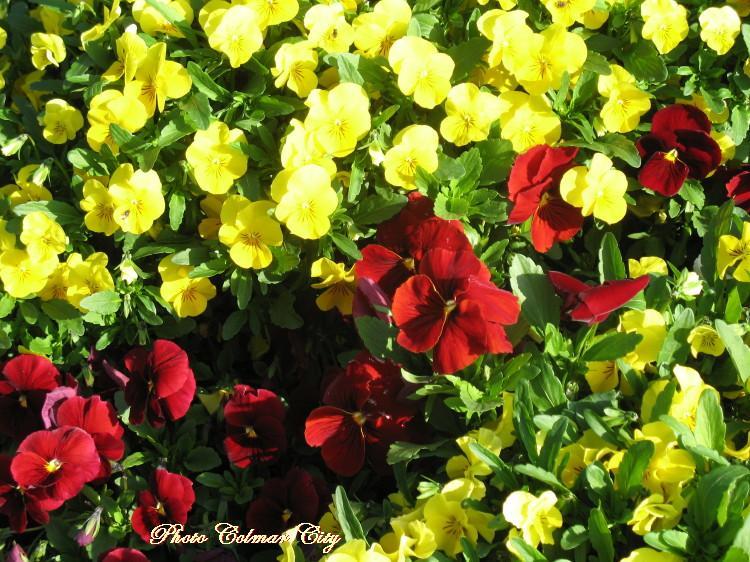 À Colmar : Parterres fleuris