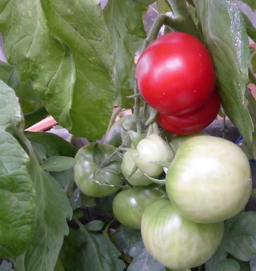 - Première tomate ! -