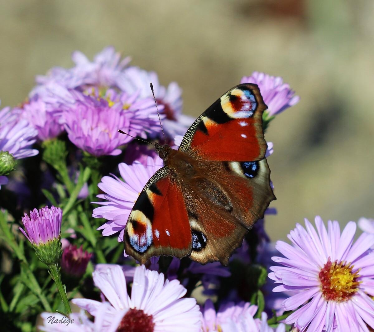 Un ballet de papillons ...