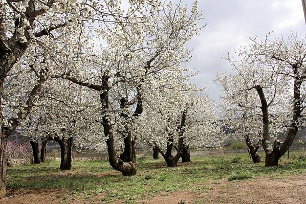 Cerisiers Camping Amazigh (1)