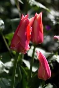 Tulipes Marianne2