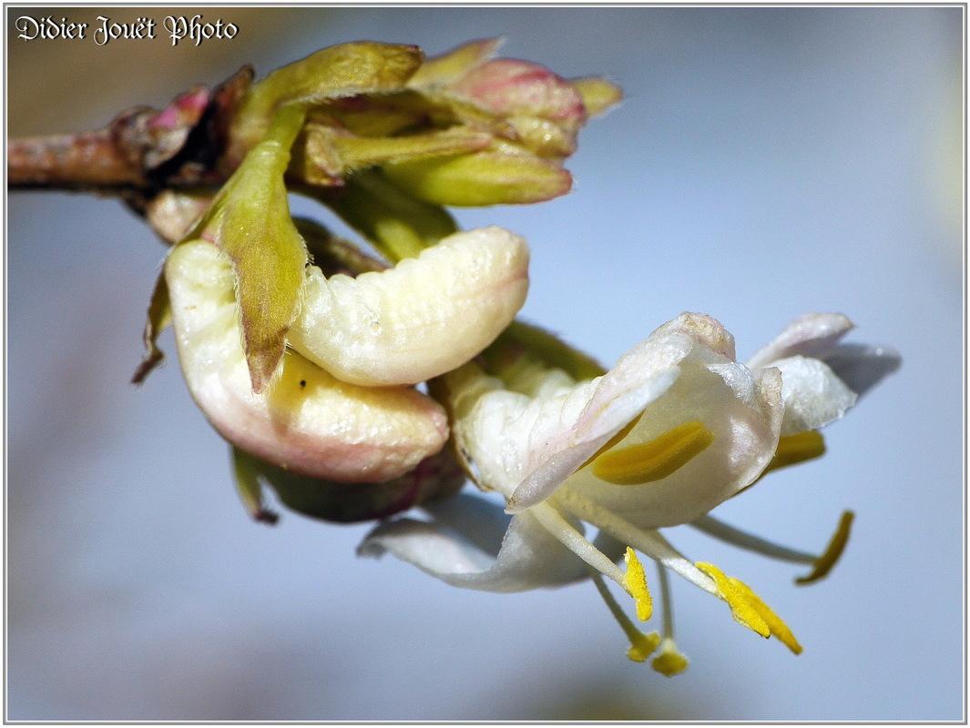 Chèvrefeuille d'hiver / Lonicera fragrantissima