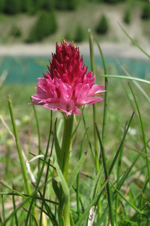 Fleurs de l'Embrunais, début juillet 2013