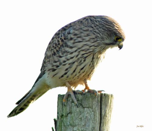 le faucon crecerelle (2)