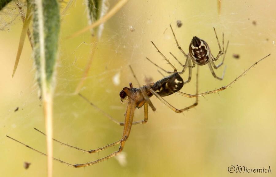Couple d'araignées (Frontinellina frutetorum) dans les chardons.