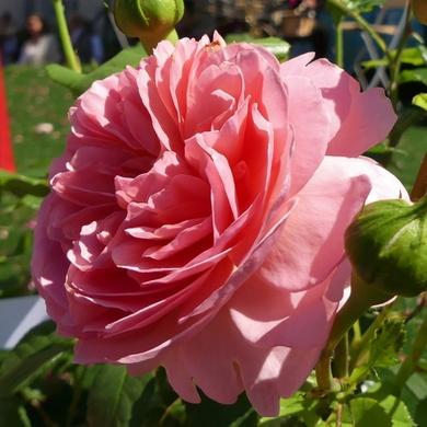 Les Journées de la Rose 2017 : Toute une histoire...