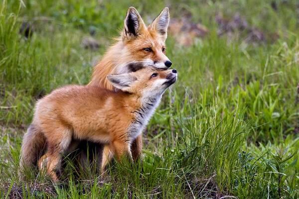 Hommage *Le renard